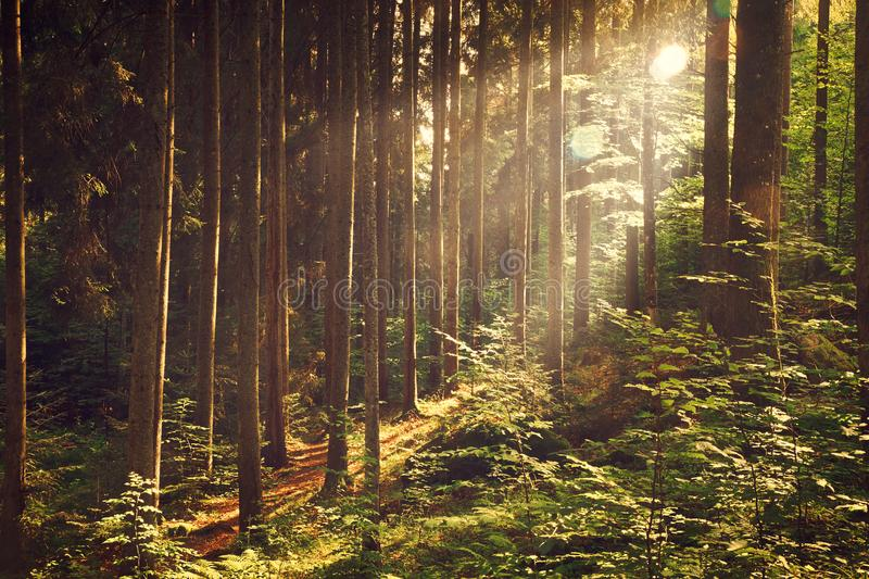 Beautiful dreamy forest royalty free stock images