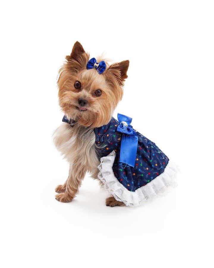 Beautiful Dress on Cute Yorkshire Terrier Dog stock photos