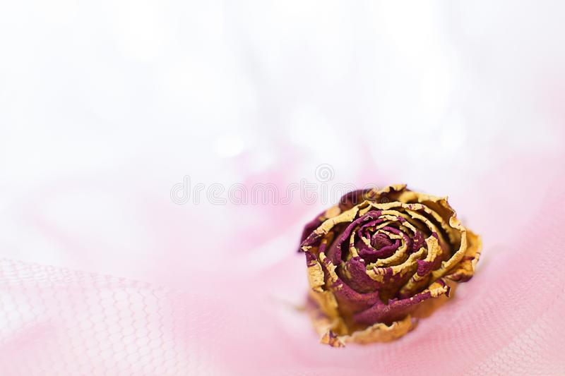 Beautiful dried flower rose pink striped with yellow in the grid stock photography