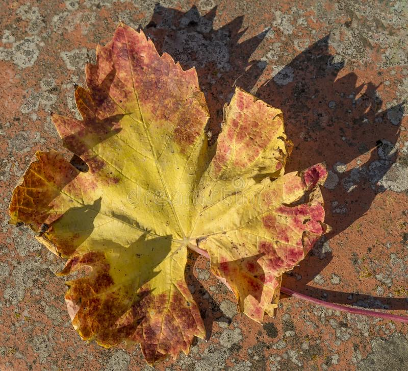 Dried grape vine leaf colored with the typical autumn hues on a colorful background royalty free stock photography