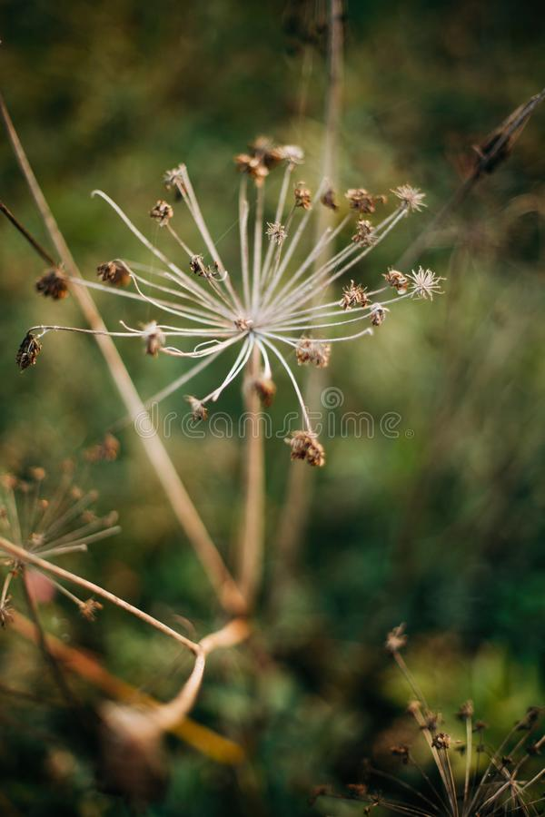 Beautiful dried herbs, aegopodium podagraria or angelica, in sunny meadow at sunset in mountains. Gathering dried wildflowers in. Mountains, natural stock photography