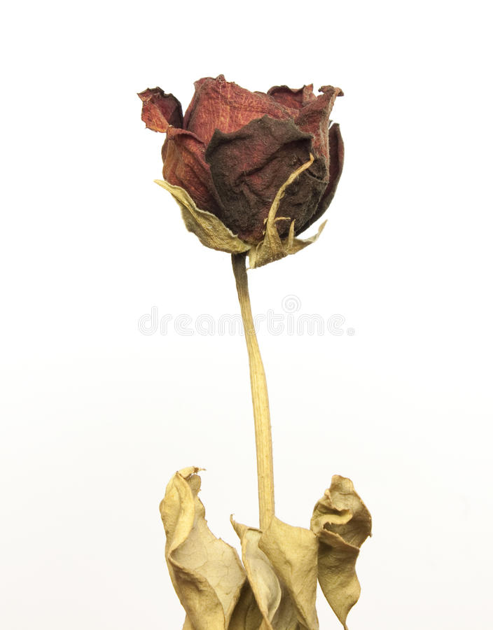 Beautiful dried red rose royalty free stock photos