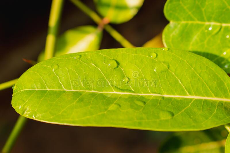 Beautiful drops of transparent rain water on a green leaf. stock images