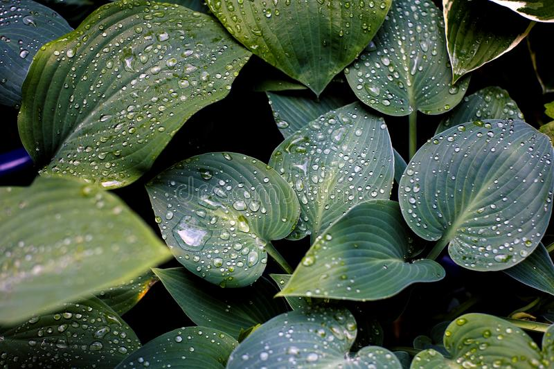 Beautiful drops of transparent rain water on green leaf macro. Many drops of dew in the morning. Beautiful leaf texture in nature royalty free stock photos