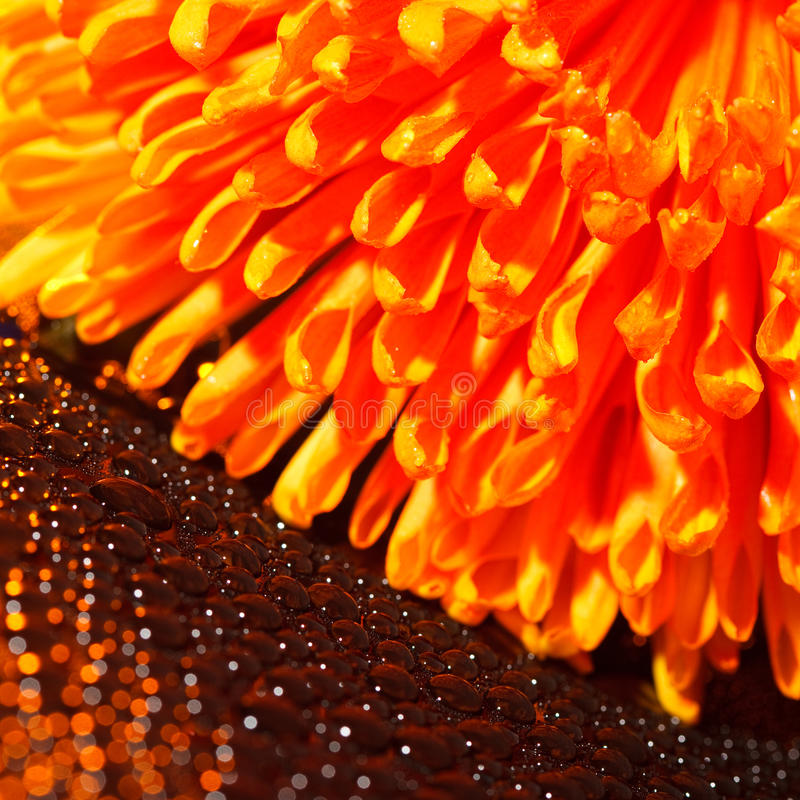 Beautiful Drops Of Water And Orange Flower Royalty Free Stock Photos
