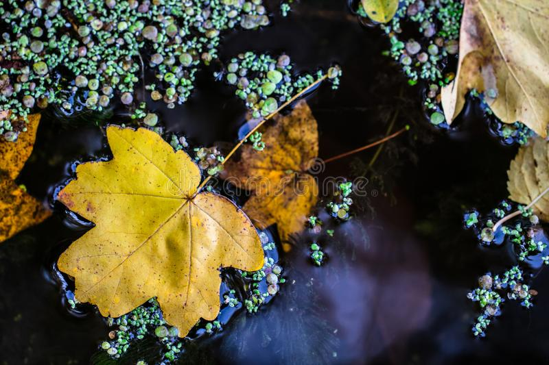 Beautiful dry leaves floating in the river water stock photo