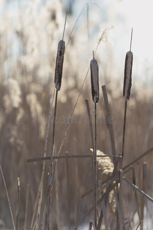 Beautiful dry reed on a winter day in the backlight stock image