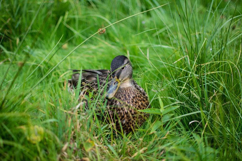 Download Beautiful Duck stock photo. Image of isolated, lake, feather - 33350430