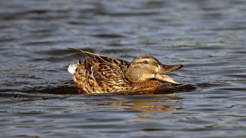 Beautiful duck swim on the lake. Mallard, or Wild duck Anas platyrhynchos stock image
