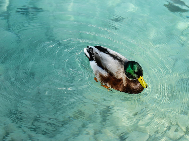Beautiful duck swimming in crystal clear water in Turkey royalty free stock images