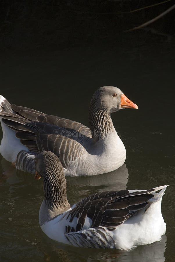 Free Beautiful Ducks Stock Photos - 5239693