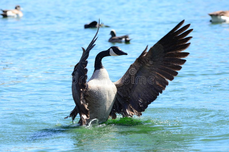 Beautiful Ducks and Geese royalty free stock image