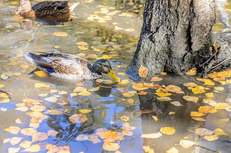 Beautiful ducks swim in a pond in an autumn. On the water are visible reflection from trees and blue sky. stock image