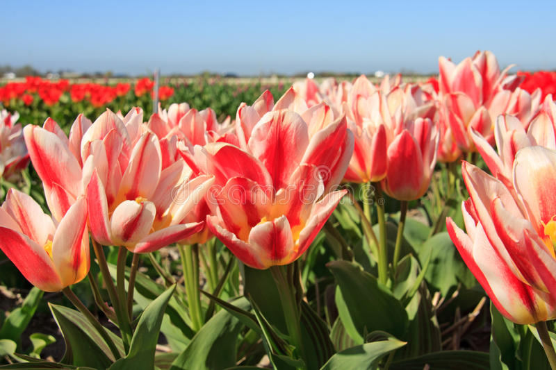 Beautiful Dutch tulip flowers in field royalty free stock photos