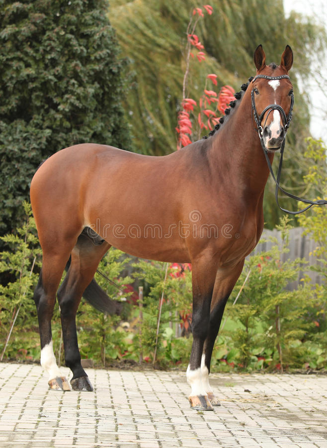 Beautiful Dutch Warmblood With Perfect Hair Style Stock