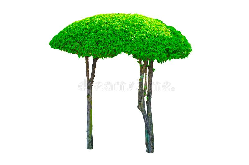 A beautiful dwarf twin hedges cut green tree isolated on white background. royalty free stock images