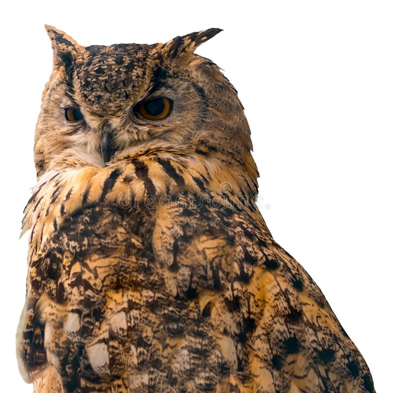 Beautiful eagle owl on blue background with copy space. Isolated on white background royalty free stock photos