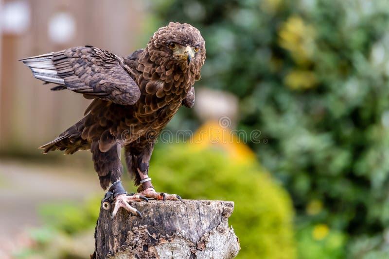 Eagle posing. Beautiful eagle posing close up stock photos
