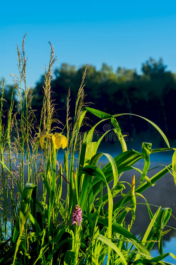 Beautiful early bright morning with blue sky and water, golden flowers of iris and green grass. Concept of seasons royalty free stock photos