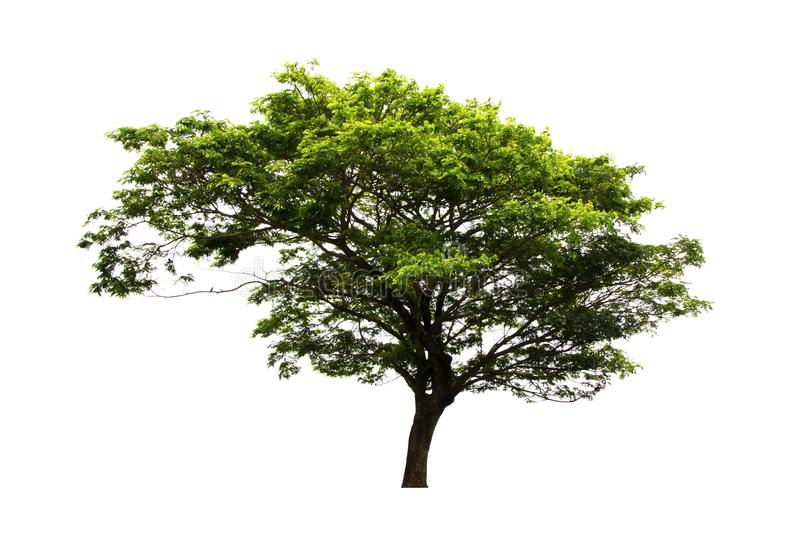 Beautiful East Indian walnut tree or Rain Tree or Samanea saman tree isolated on white background with clipping path. stock photography