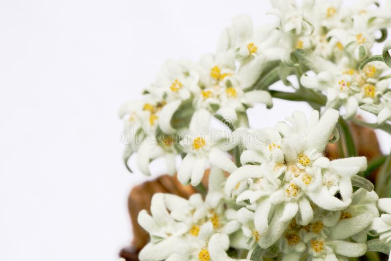 Beautiful edelweiss flowers isolated on white royalty free stock images