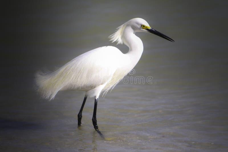 Beautiful Egret stock images