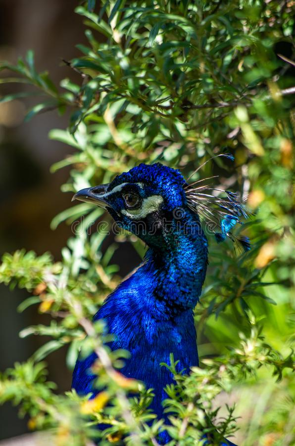 The beautiful and elegance of the peacock male in a zoo royalty free stock photo