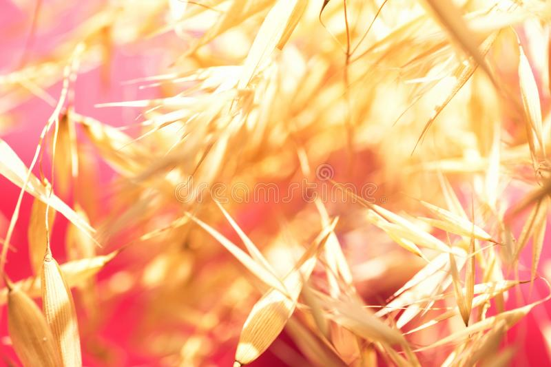 Beautiful elegant autumnal botanical nature background. Blurred field plants oats in golden glow on fuchsia pink sunlight leaks royalty free stock image