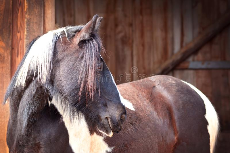 Dark brown Pinto horse side view on blurry wooden stable background stock photos