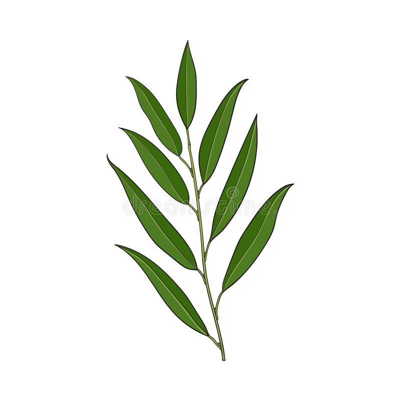 Beautiful, elegant hand drawn willow tree twig, branch, decoration element stock illustration