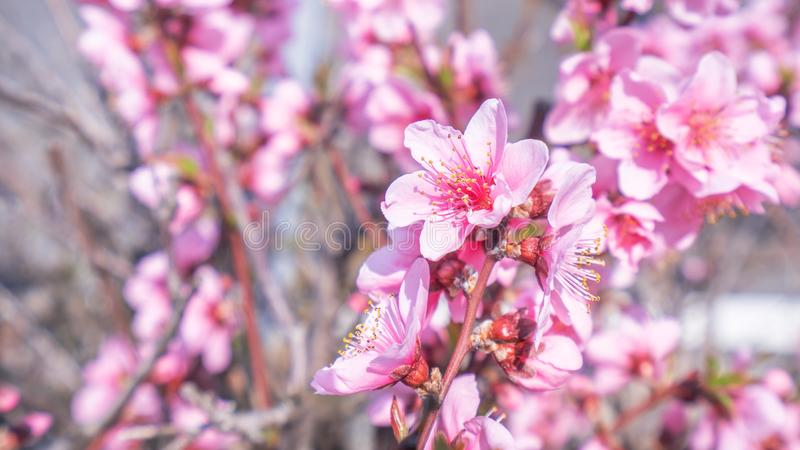 Beautiful and elegant pale light pink peach blossom flower on the tree branch at a public park garden in Spring, Japan. Blurred royalty free stock photography
