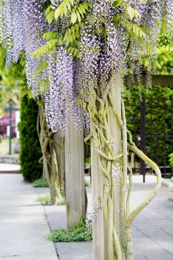 Beautiful, elegant purple wisteria flowers stock photos
