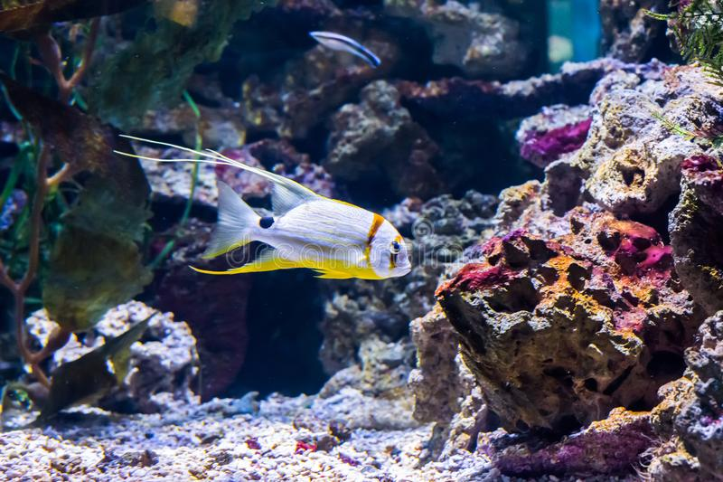 Beautiful and elegant white and yellow striped tropical fish aquarium pet with elegant strings colorful exotic marine life portrai royalty free stock images