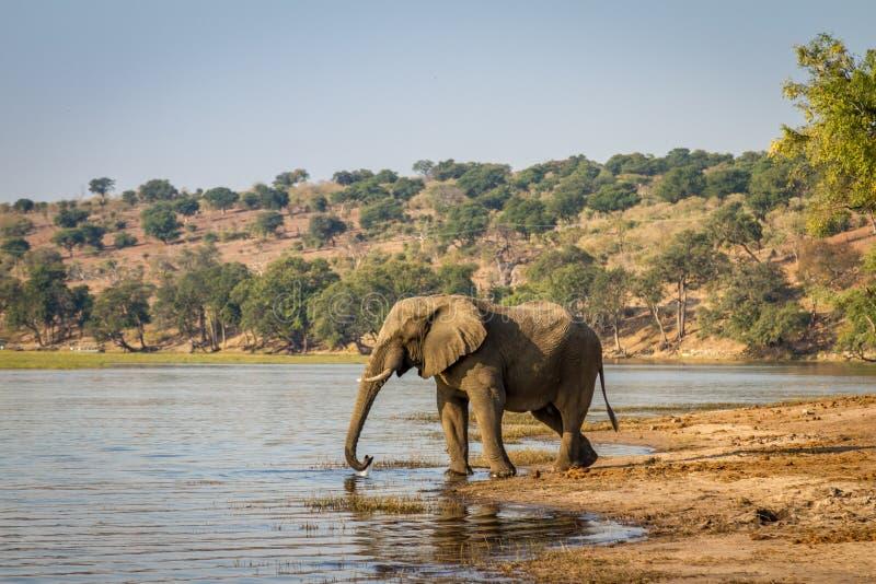Beautiful elephant in Chobe National Park in Botswana stock images