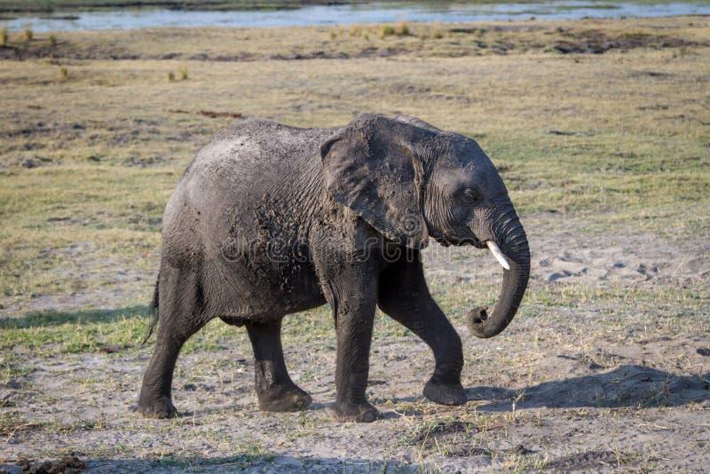 Beautiful elephant in Chobe National Park in Botswana stock photography