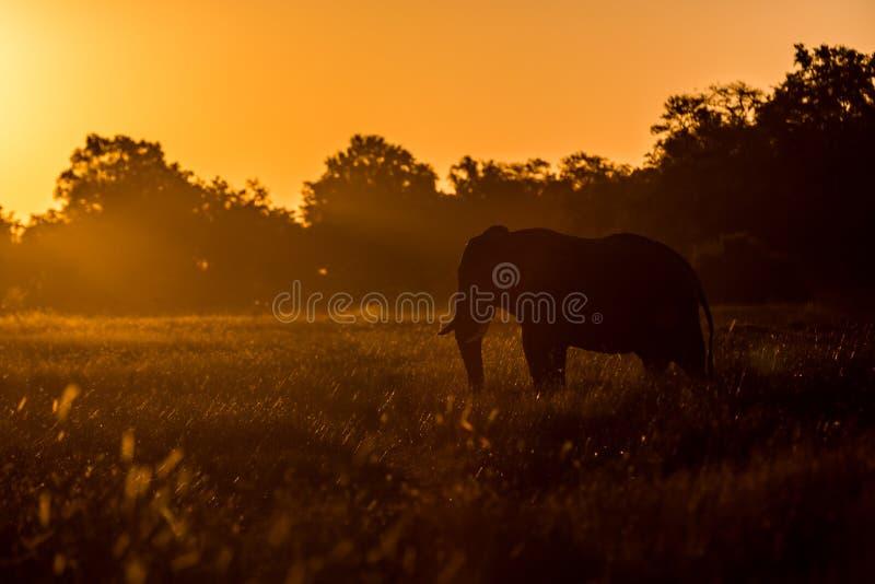 Beautiful elephant in Chobe National Park in Botswana stock image