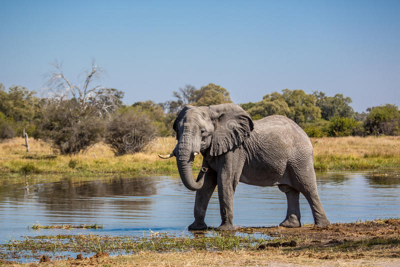 Beautiful elephant in Chobe National Park in Botswana stock photos