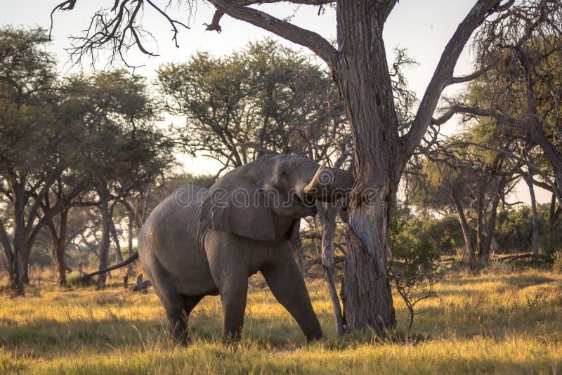Beautiful elephant in Chobe National Park in Botswana royalty free stock photos