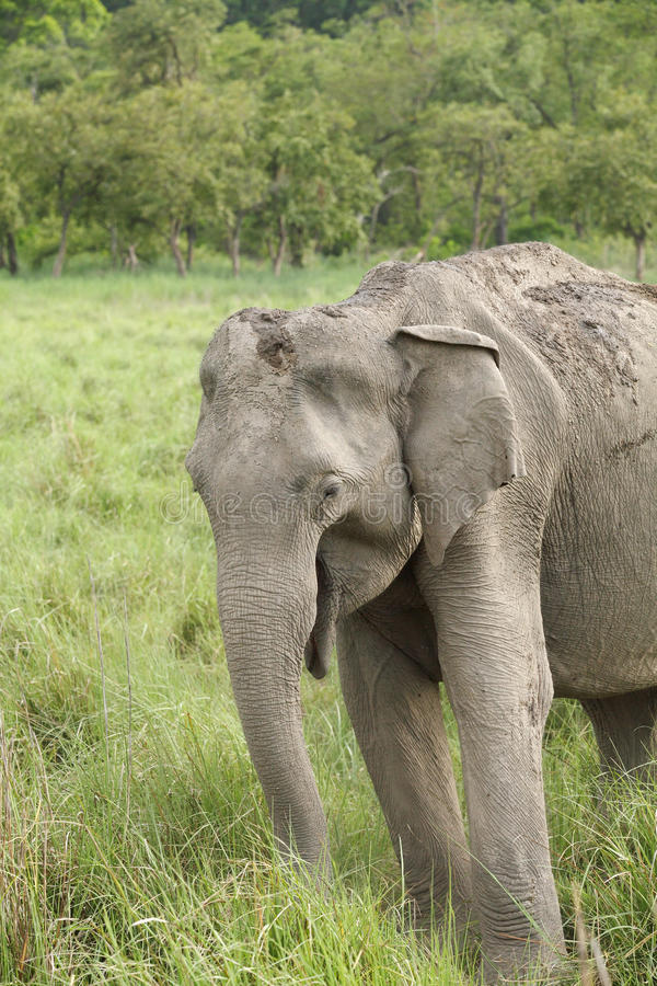A beautiful elephant eating grass royalty free stock image