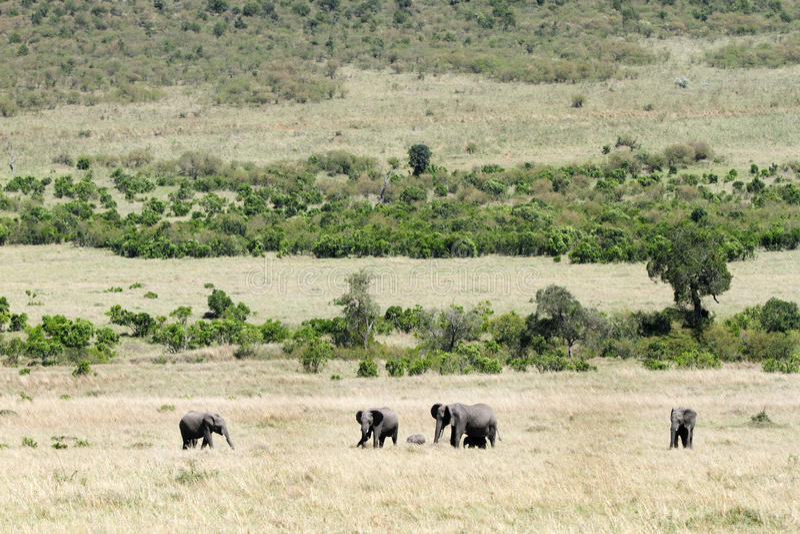 Beautiful elephants in the Masai Mara royalty free stock photo