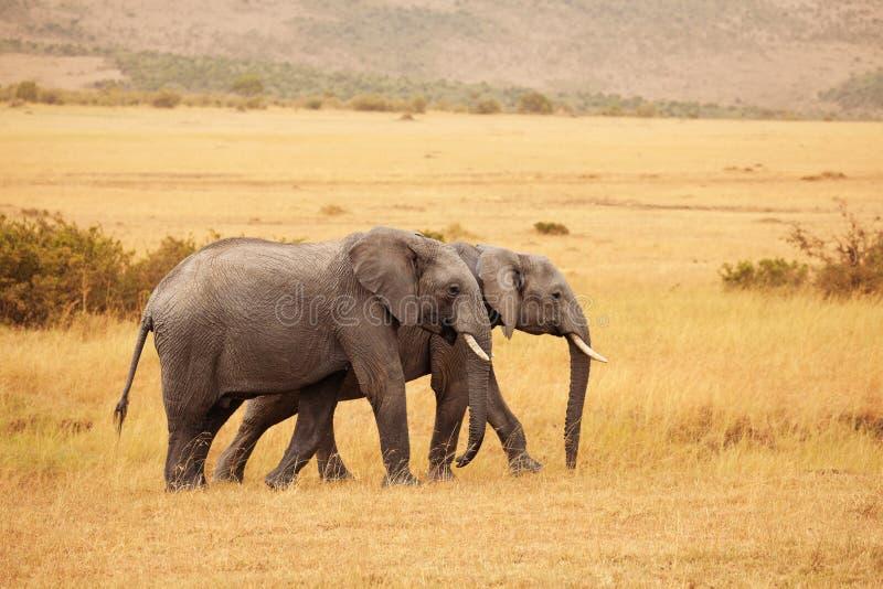 Beautiful elephants walking together in savannah. A pair of beautiful African elephants walking together in Kenyan savannah stock photo