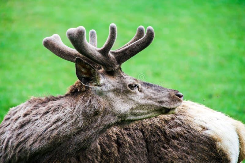 Beautiful elk in natural park stock photography