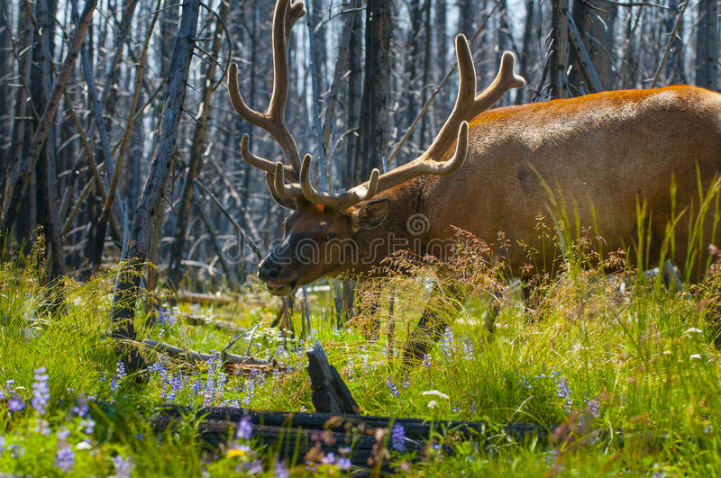 Beautiful Elk Yellowstone National Park. Adult Elk Close-up Yellowstone National Park stock photos