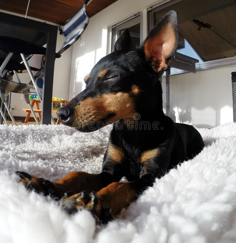 Beautiful English Toy Terrier royalty free stock photography