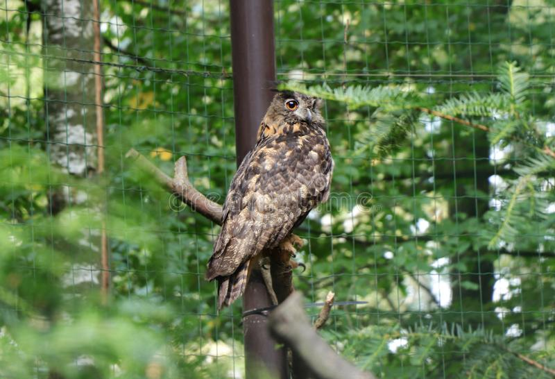 A beautiful eurasian eagle-owl sitting on branch and looking on camera and waiting for lunch or some prey. Sunny day and owl stock photography