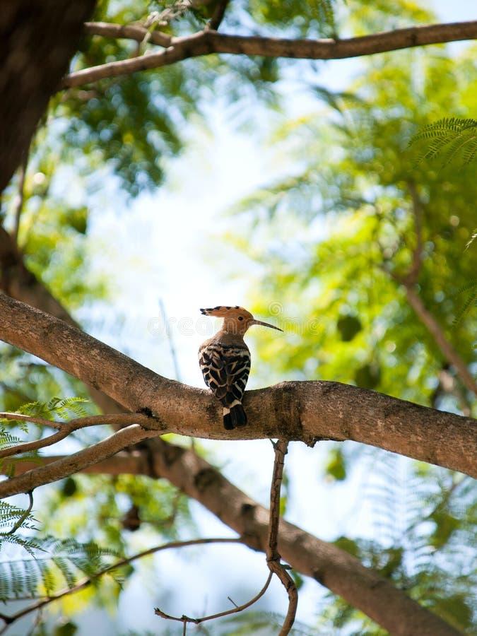 Beautiful eurasian hoopoe (upupa epops) sitting in a tree royalty free stock photography