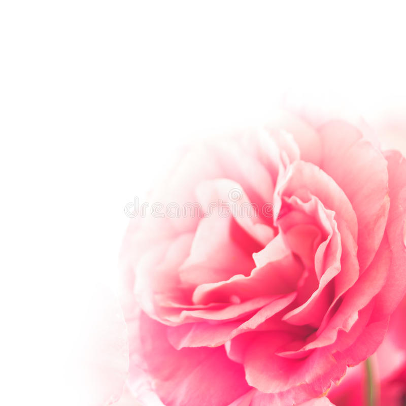 Beautiful Eustoma Flower On The White Background Stock Photography