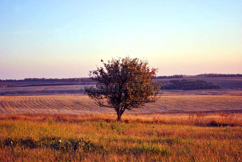 Beautiful evening landscape, purple-blue sky, lonely apple tree in grass meadow, hills with plowed field. On horizon royalty free stock images