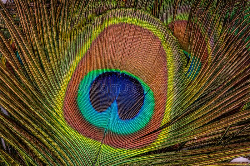 Beautiful exotic peacock feathers as texture. Close up stock image