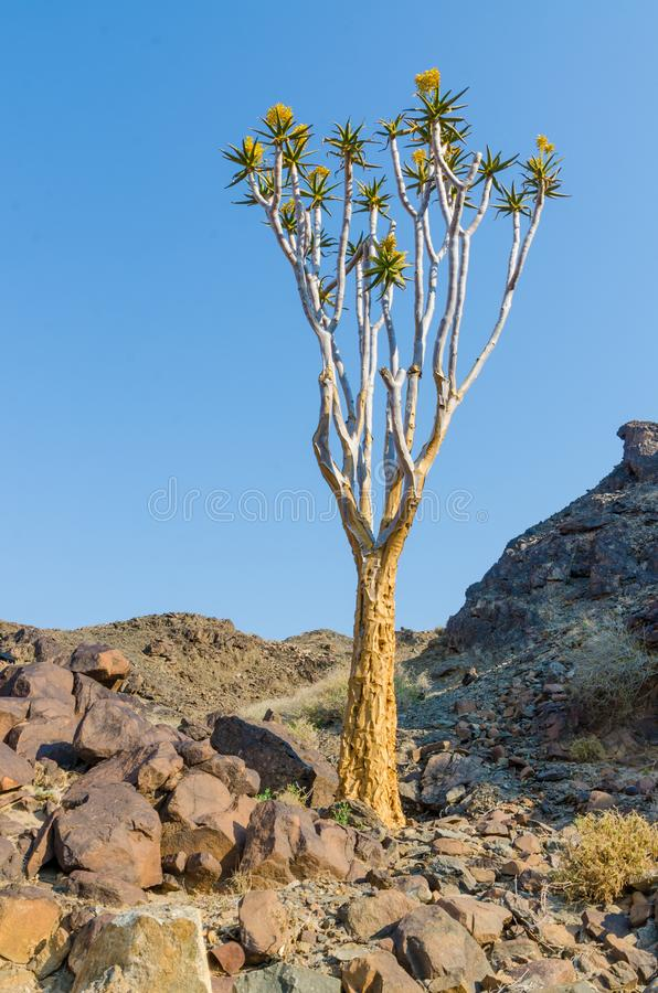 Beautiful exotic quiver tree in rocky and arid Namibian landscape, Namibia, Southern Africa royalty free stock images